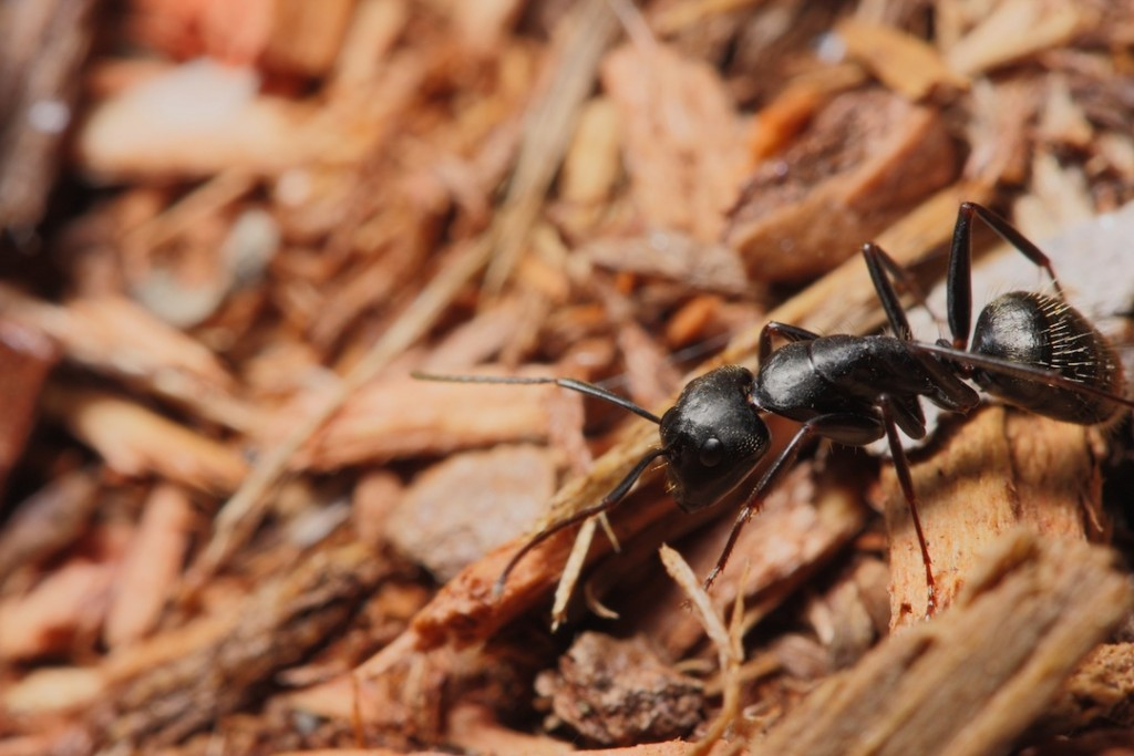 What to know about carpenter ants in Sevierville TN - Johnson Pest Control