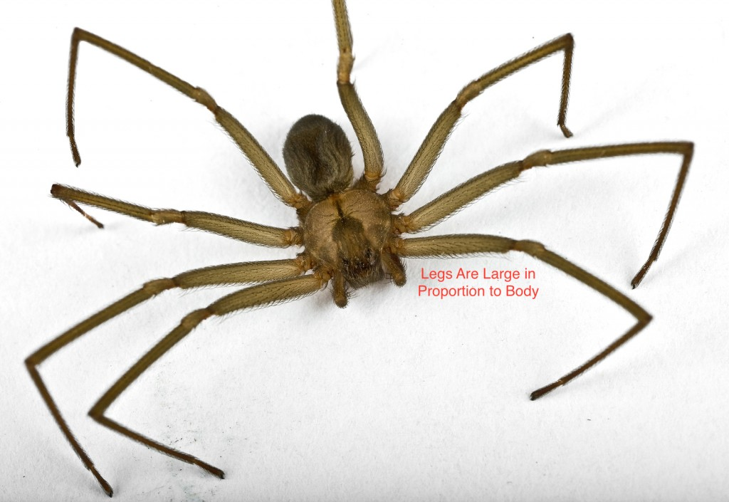 Brown Recluse Pictures | Johnson Pest Control