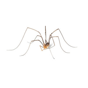 Daddy long legs spider at Johnson Pest Control in Sevierville TN