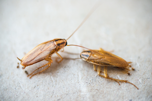 German cockroaches are one of the most common cockroach infestations in Knoxville TN - Johnson Pest Control