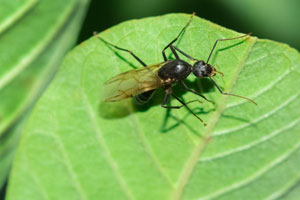 Carpenter ants are commonly mistaken for termites in Sevierville TN - Learn the differences from Johnson Pest Control.