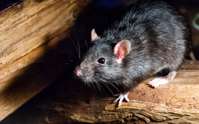 Rat or mouse identification in Sevierville TN - Johnson Pest Control